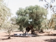 Yoga under the millenary olive trees