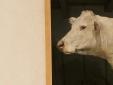 Macaya's cow