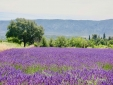 lavender in the Luberon