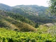 Alfredo's vineyard
